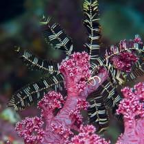 Featherstar или морская лилия