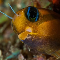 Just blenny fish