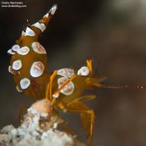 Pregnant Sexy Anemone Shrimp
