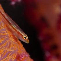 Goby on soft coral
