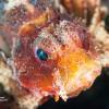 Baby Lion Fish #2