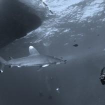 Longimanus Shark @ Elphinstone reef #2.