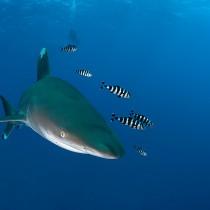 Longimanus Shark @ Elphinstone Reef #3.