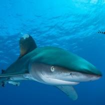 Longimanus Shark @ Elphinstone reef #1.