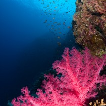 Soft corals. Brothers islands #2