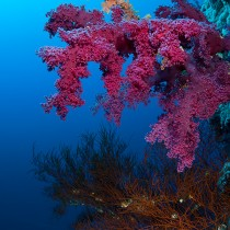 Soft corals. Brothers islands.