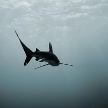 Longimanus Shark @ Elphinstone Reef #4.