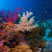 Soft corals. Brothers islands #3