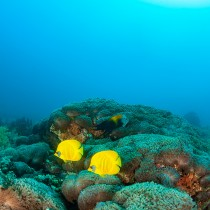 Butterfly Fish #2