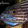 Striped Cardinalfish with Eggs