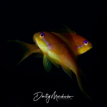 Pair of anthias fish