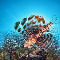 Dangerous Beauty – Hunting Lionfish