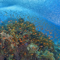 School of whitebait and orange anthias fish on coral reef