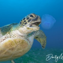 Lunch Time – Green Sea Turtle eating Jellyfish