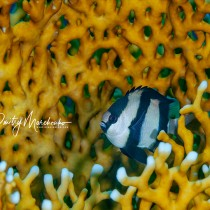 Dascyllus melanurus in fire coral