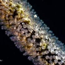 Yellowbelly damselfish eggs