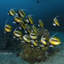School of red sea bannerfish