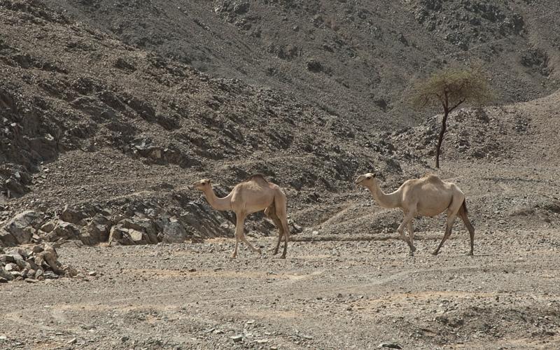 Верблюды в пустыне (стейки)