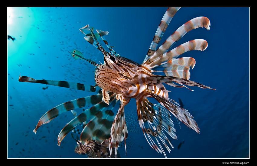 Крылатка Lion fish