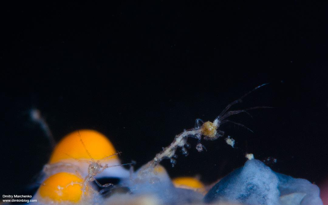 Морская козочка-скелетон. Skeleton Shrimp
